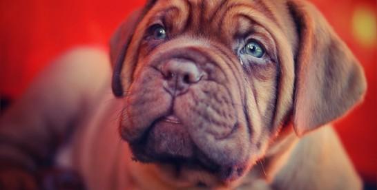 Łzawiące oczy u buldoga – czy to wzruszenie?