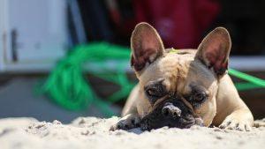 buldog na piasku